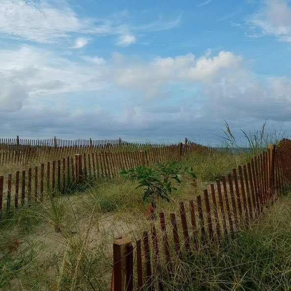 Stained Sand Fence on dunes
